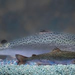 Two same-age salmon are shown: a genetically modified salmon, rear, and a non-genetically modified salmon, foreground.