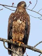 Photo of immature bald eagle.