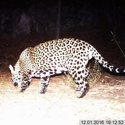 A male jaguar captured by a camera along a  Fort Huachuca