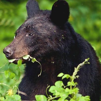 Holly Higgins photographed a kudzu-munching black bear