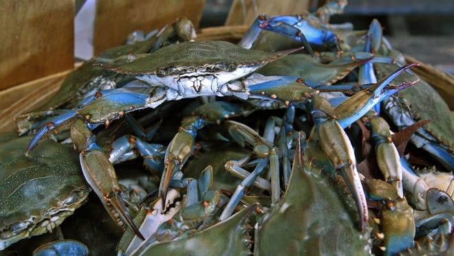Basket of Blue Crabs caught on the first day of Blue Crab season at the Belford Seafood Cooperative.