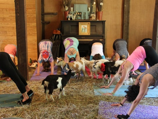 Goats look on during the Farm Friend Bend goat yoga