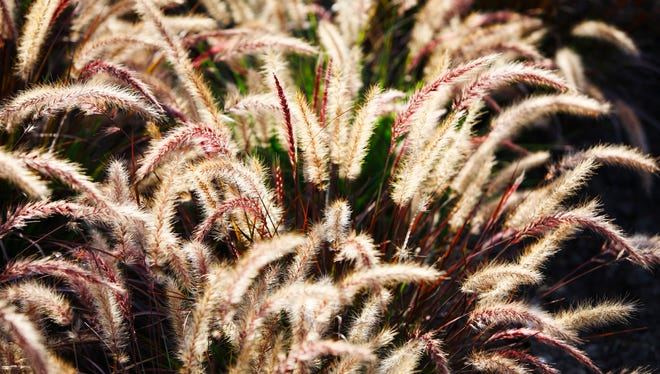 Green foxtail is an ornamental grass.