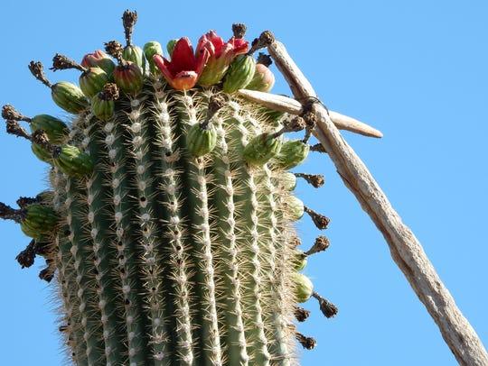 aguaro cactus fruit harvest