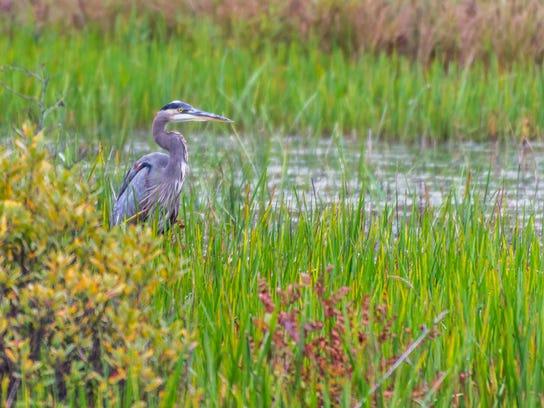Adams - Great Blue Heron Berlin Pond, Berlin, Vermont September 13, 2014.jpg