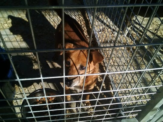 This dog being held at the Searcy County Humane Society is believed to have eaten hot dogs laced with sleeping pills in rural northern Arkansas. But unlike dozens of other dogs, he avoided being subsequently shot.