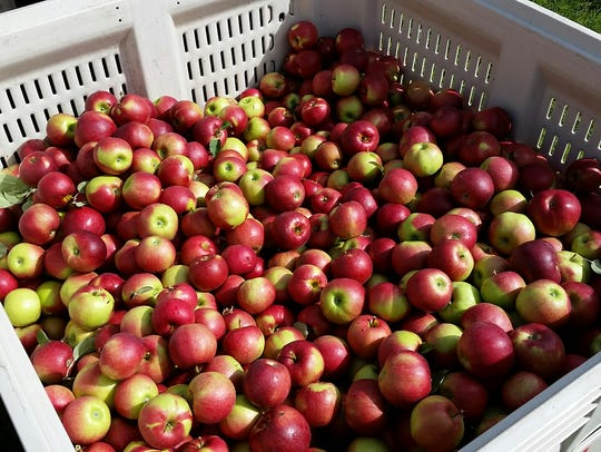 Freshly picked apples from Ten Eyck orchard near Brodhead.