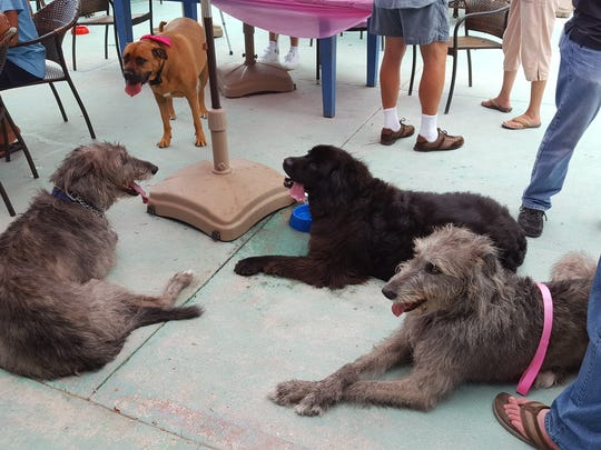 After a full afternoon of doggy cake and birthday party fun, Gypsy Sue in the pink bow and some of her doggy guests take a breather.