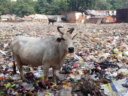 A free roaming cow stands amidst a field of rubbish.