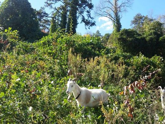 Goats clear a hill covered in kudzu.