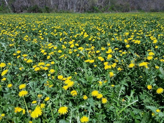 Dandelions are abundant in this South Jersey field. Bellview wine makers use everything they have that's grown locally.