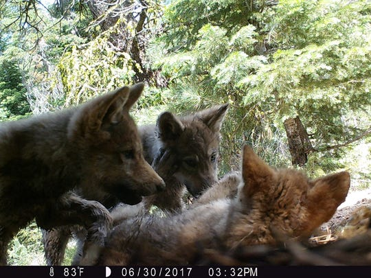 In this July 2017 file photo, gray wolf puppies were captured by a trail camera set up in western Lassen County.