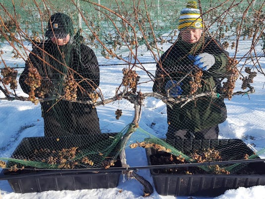 schacol29-harvesting ice grapes
