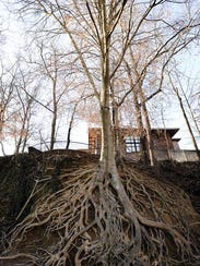 The iconic American beech tree is a popular backdrop