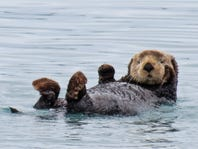 An aquarium apologized for calling its sea otter 'thicc.' And she isn't even overweight