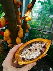Mature pods are sliced open to harvest the cocoa beans