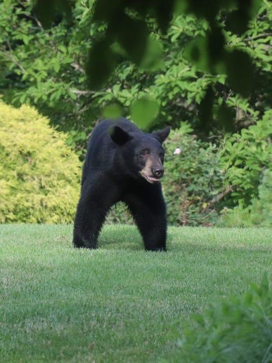 Armonk-bear-3.jpg