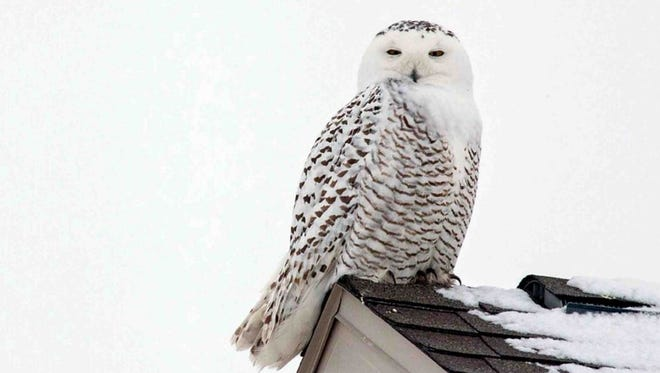 The number of Snowy owls spending time in Wisconsin have been increasing.