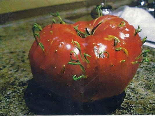 Viviparitic Tomato