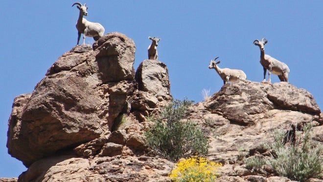 Gary Carlson of Mesa photographed a group of bighorn sheep acting as sentinels of the rocks on a sunny day at Canyon Lake.