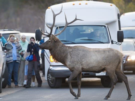 An elk crosses the road in Moraine Park in Rocky Mountain National Park.