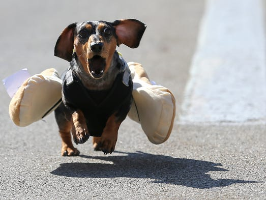 100 dachshund dogs raced in the 10th annual Running