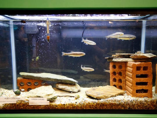 Native species of fish swim in an aquarium at the newly