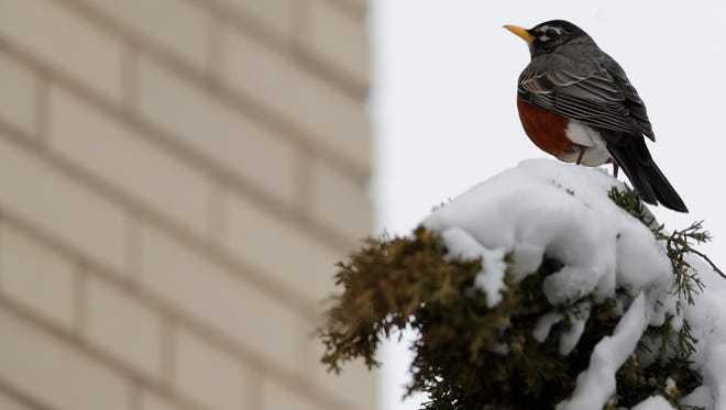 A robin perches on a shrub outside City Hall in downtown Green Bay on Tuesday. With many winter berries gone and no sign of earthworms anytime soon, the birds are looking for food sources after the blizzard.