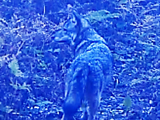 This screen-grab from a trail cam video was the only wolf seen on Isle Royale in September 2017 by Michigan Technological University researchers. An inbred pair of wolves were the last known to inhabit the island the past two years, but that number may be down to one.