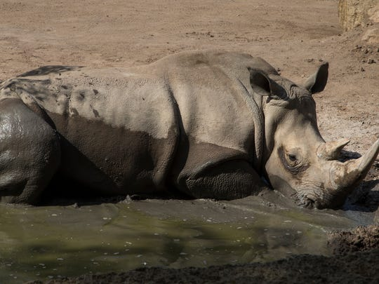 LouLou, a southern white rhino, wallows in the mud