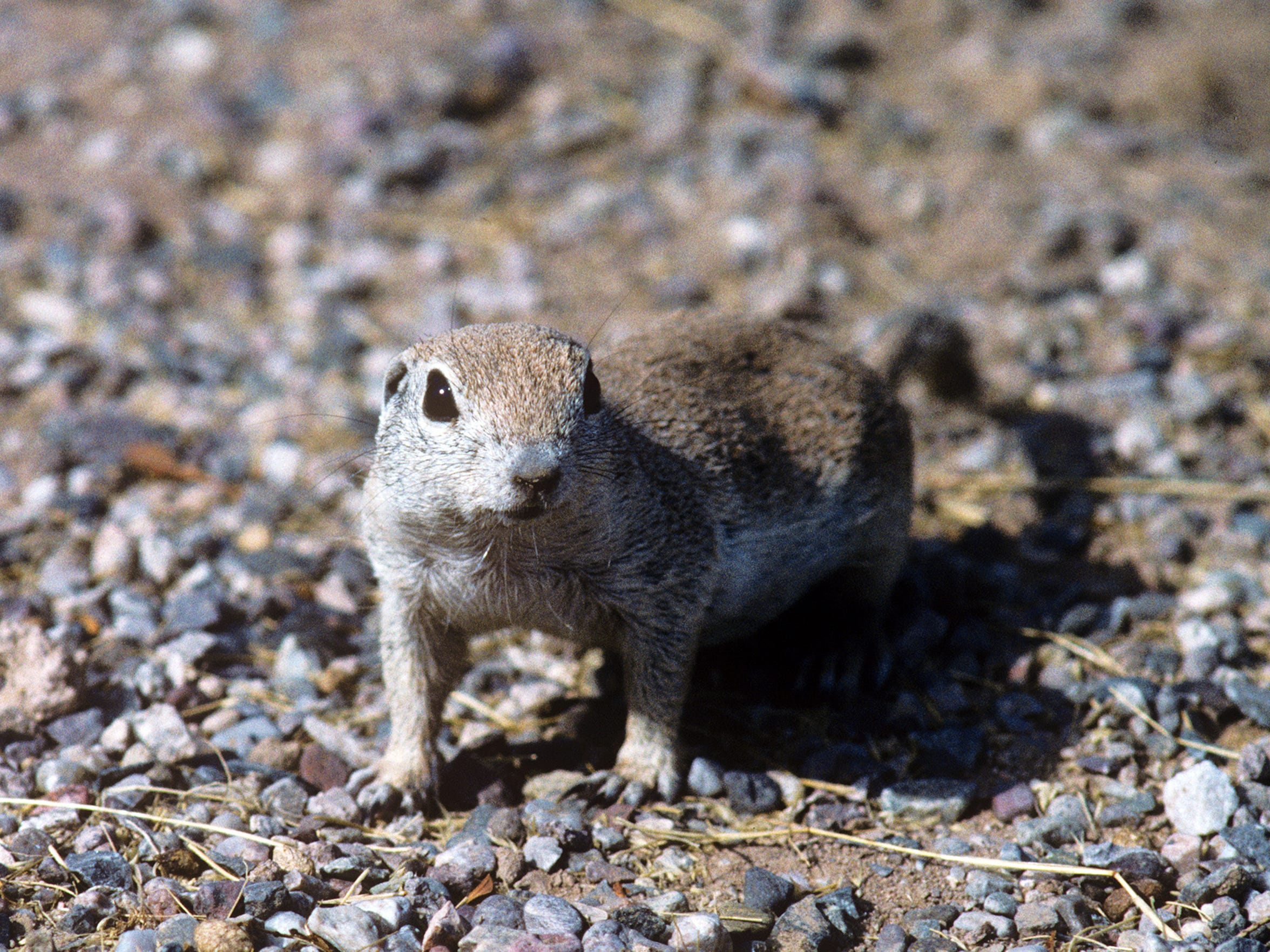 TDS Climate Change Mojave Ground Squirrel