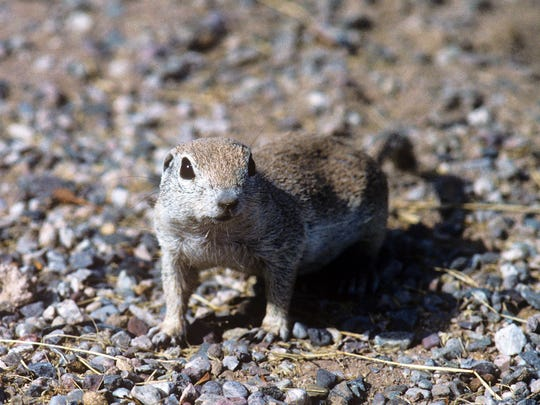 Mohave ground squirrel
