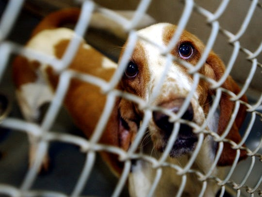 A Basset Hound sits in its cage at Caddo Animal Control