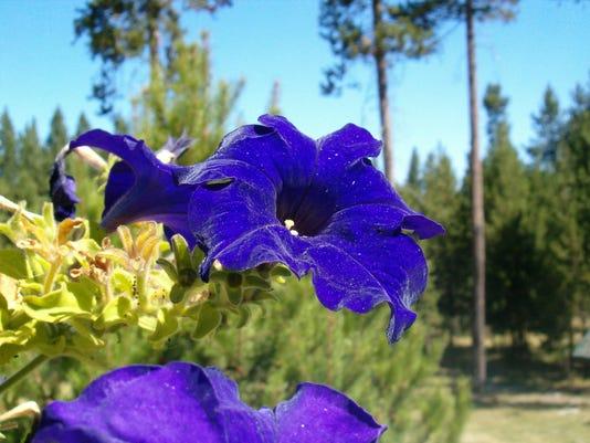 blue-petunia-1364700