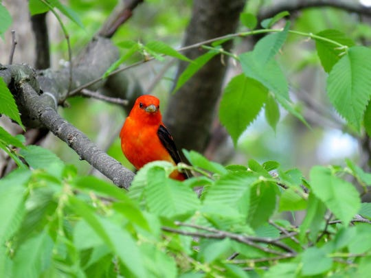 Join Fond du Lac County Audubon Society at 7 p.m. on Wednesday, March 14, at Moraine Park Technical College, Room O-104, for a program on identifying birds by their songs and the sounds they make. Jeff Baughman, an active birder with a strong interest in field identification, especially bird vocalizations, will give a presentation with many bird images and recordings of their beautiful and varied sounds. The program's focus will help the beginning birder learn the language of bird song. Baughman will highlight some of the best ways to get a foothold on the process, make suggestions where to begin, and a strategy to increase your bird song vocabulary. The public is invited to attend this free program.