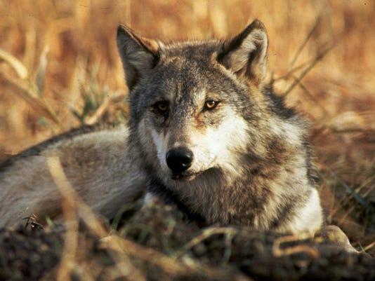 636379034764720367-wolflife.jpg