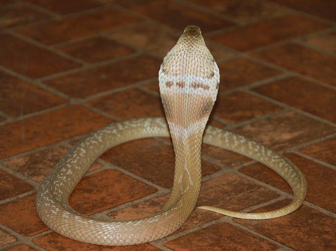File photo of a monacled Cobra.