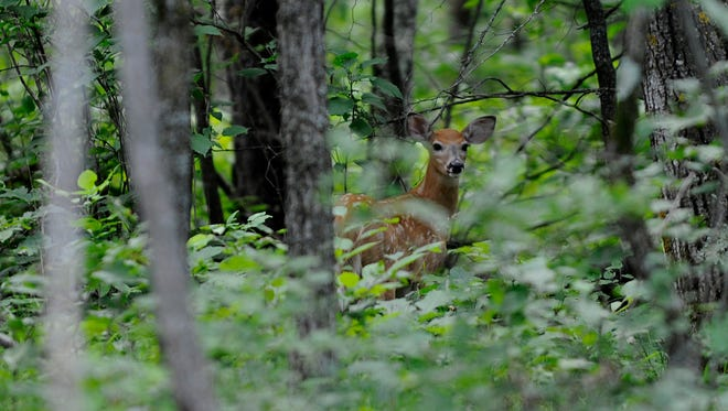 A deer near the Paul Bunyan Trail which was extended 6 miles and brings it to Crow Wing State Park in Brainerd on July 29th. The trail is now a whopping 115 miles and it makes it one of the longest state trails in Minnesota.