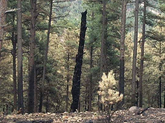 Smaller shrubs and old or dead trees burned with the grass on Moon Mountain, but most of the pines look like they'll live, thanks to thinning efforts a few years back.
