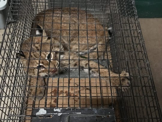 A male bobcat is rehabbing at Wildlife Haven after
