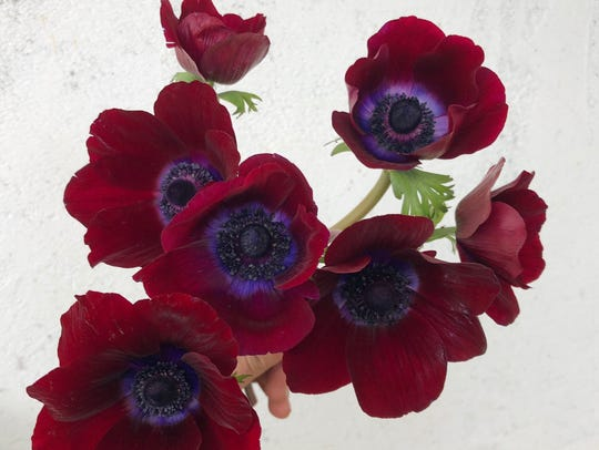 Spring anemones are blooming now at Carolina Flowers'