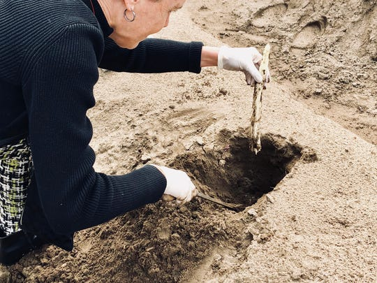 During the spring harvest, workers dig holes and hand-cut white asparagus which grows underground in sandy mounds to avoid exposure to the sun.