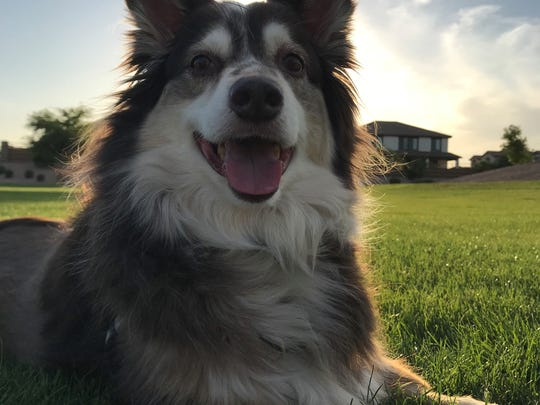 Toby is Jeremy Council's Australian Shepherd. The pet
