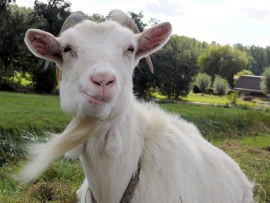 635931329612698628-Goat.EmmaComeau.3.7.16.jpg