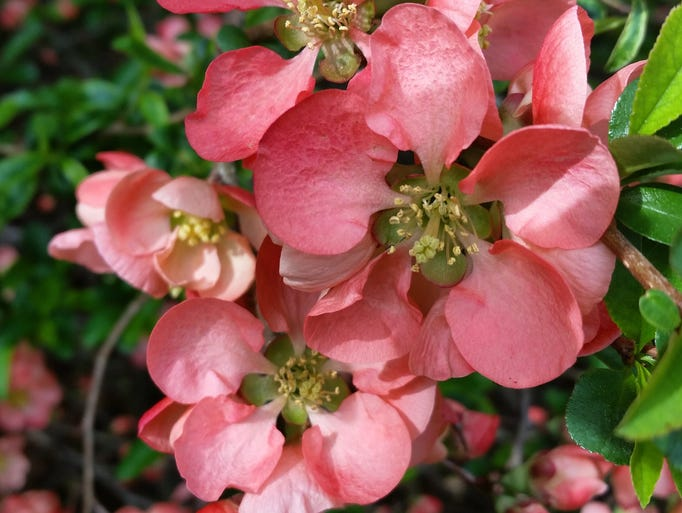 Quince in bloom