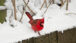 A  Cardinal doesn't seem to mind the snow at the Cincinnati