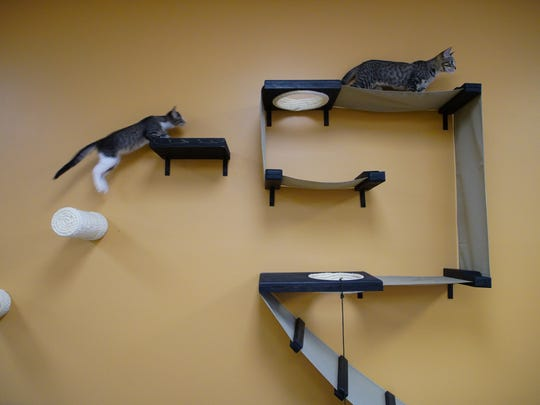 Kittens up for adoption play on a climbing wall in the new TreeTops Kitty Cafe in Kennett Square.