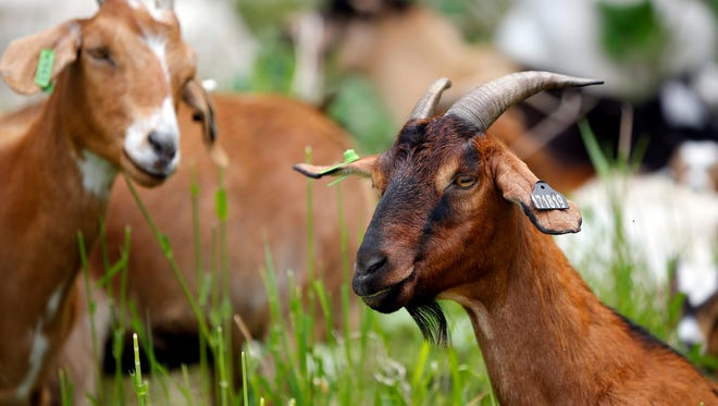 A herd of goats has been brought in to eat non-native plants at Calhoun Park in Ames Monday, May 15, 2017.