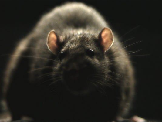 636124916323589508-RATS-3.jpg