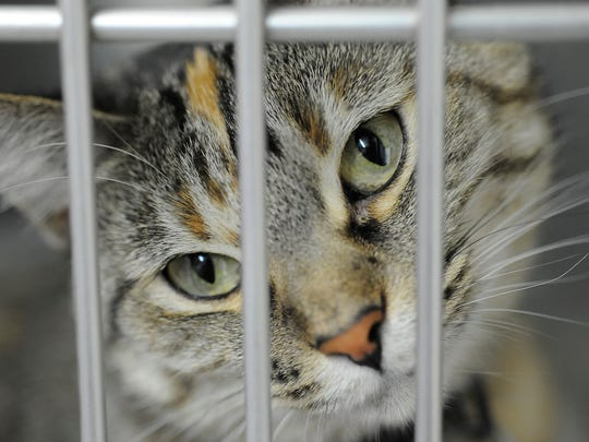 A cat peers out of its cage at the Humane Society of North Central Arkansas in this file photo. The shelter will now partner with www.findingrover.com to use facial recognition technology to help in the location of lost pets.